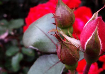 roses-2000x600